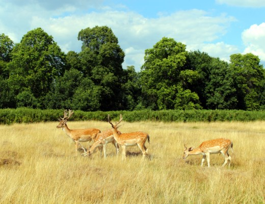 deers in Richmond Park in London
