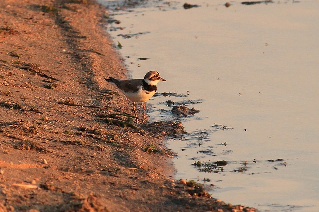 Ringed plover at Bathsheba pools