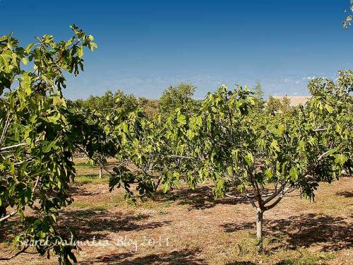 The fig trees in the orchard