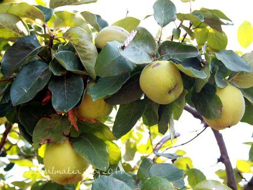 Quince ...almost ripe