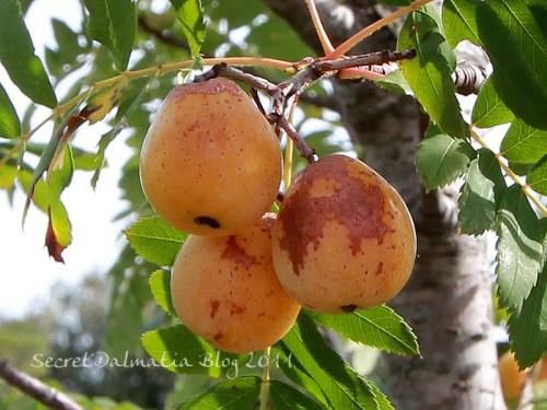 The ripe fruit