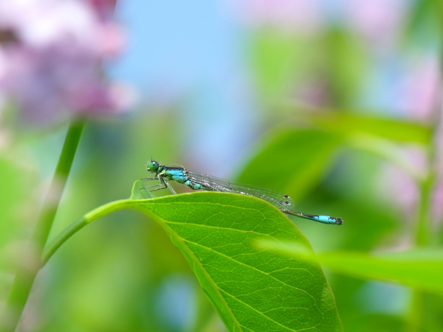 libelula pe frunza de liliac