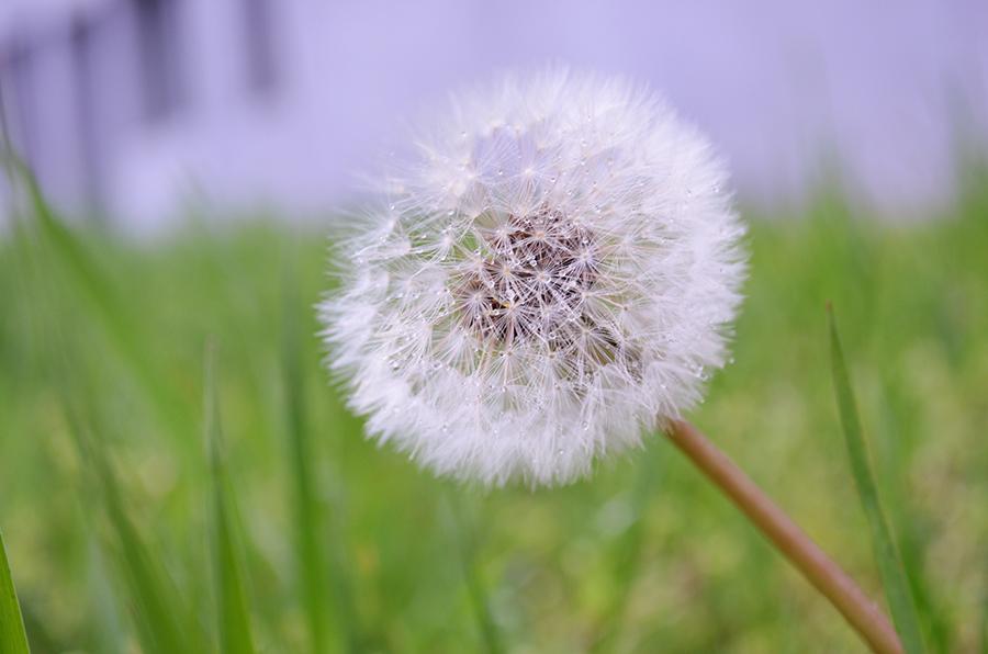 roua pe papadie dew on dandelion close-up macro