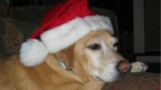dog-in-a-santa-hat