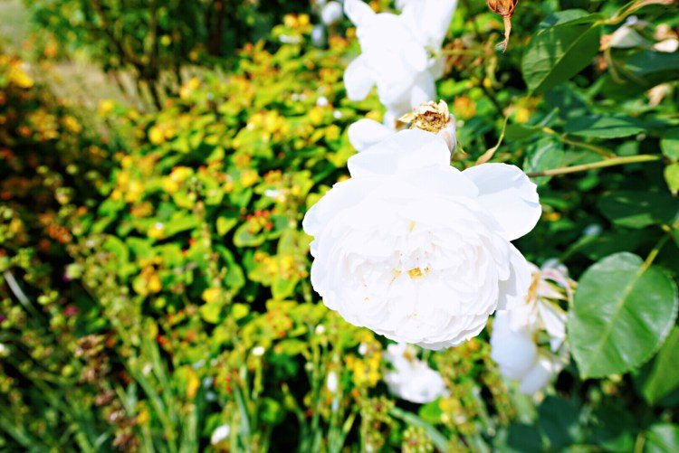 Beautiful rose - Whitstable day trip seaside town things to do