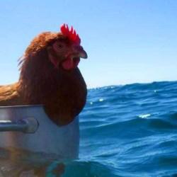 Une poule française bat le record de la traversée de l'Atlantique en solitaire