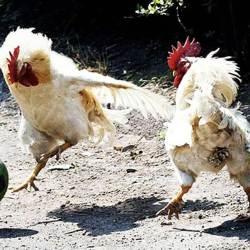 Chicken Football : La France organisera le mondial « poules & volailles » en 2025