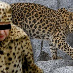 Une vieille dame en manteau de fourrure sauvagement violée par des léopards au zoo de Maubeuge