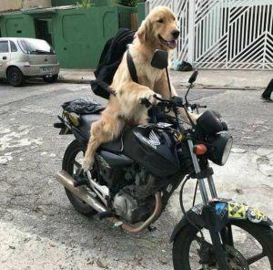 chien-moto-tour-du-monde-1-1-300x296 Un chien va faire le tour du monde en moto en solitaire pour soutenir la cause animale et le véganisme