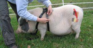 Un cochon-espion avec un harnais, formé par l'armée belge, découvert en France