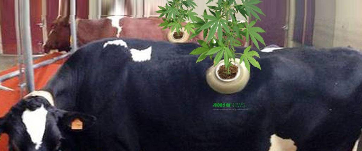 Un éleveur faisait pousser du cannabis dans des vaches à hublot