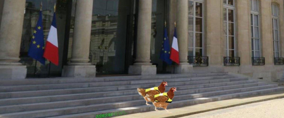 Agathe et Marianne, les poules de l'Élysée, rejoignent les Gilets Jaunes