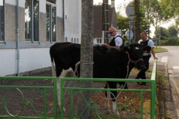 Une vache policière fait tomber un trafic de faux steaks hachés