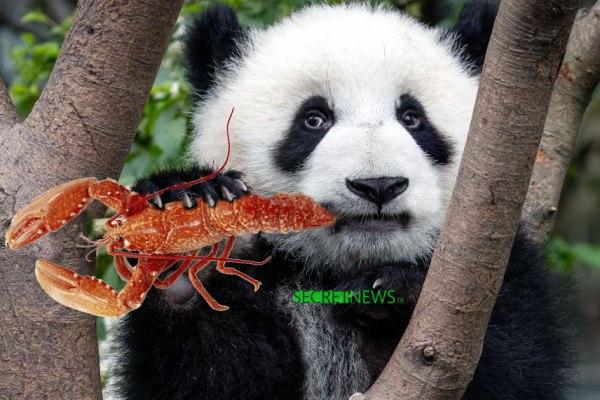 Mediapart dévoile que le panda de Brigitte Macron est nourri avec du homard