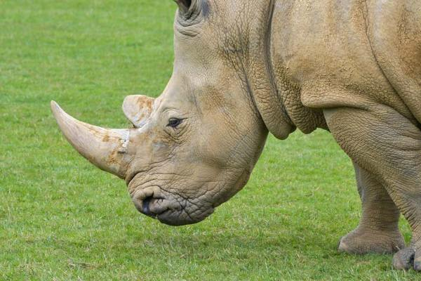 Un braconnier chargé par un rhinocéros hospitalisé avec une corne de 90 cm dans le rectum