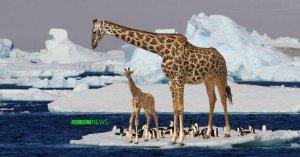 Réchauffement climatique : les premières girafes arrivent au pôle Nord après un long périple migratoire