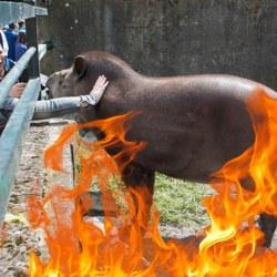 Le zoo de Paris brûle l'enclos aux tapirs pour une vue plus réaliste de l'Amazonie