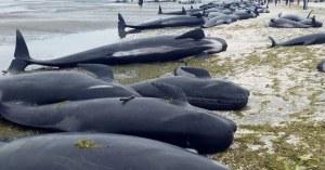 Une centaine de baleines échouées sur une plage à Rouen à cause des suies toxiques