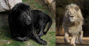 Après un passage au car-wash, le lion noir du zoo de Rouen est redevenu blanc