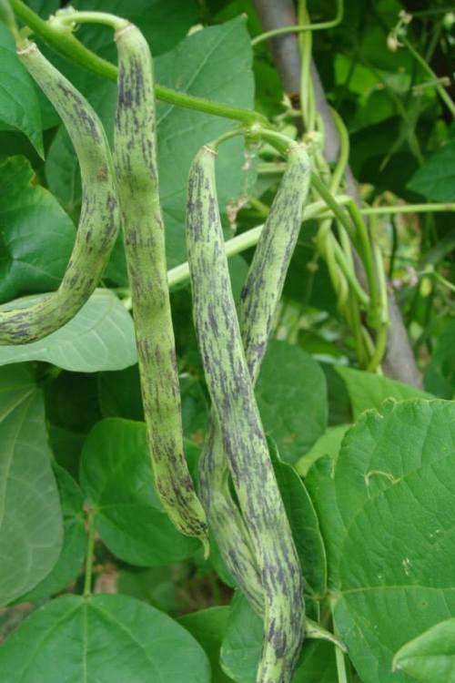 WCMPole Bean