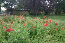 poppies in Bois de Vincennes