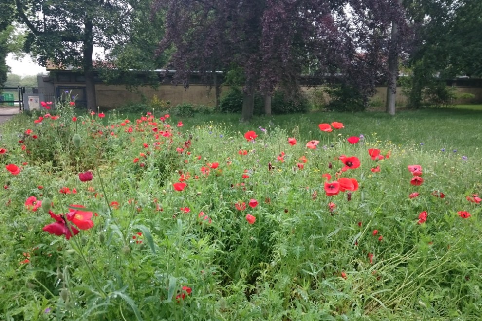 poppies in Bois de Vincennes