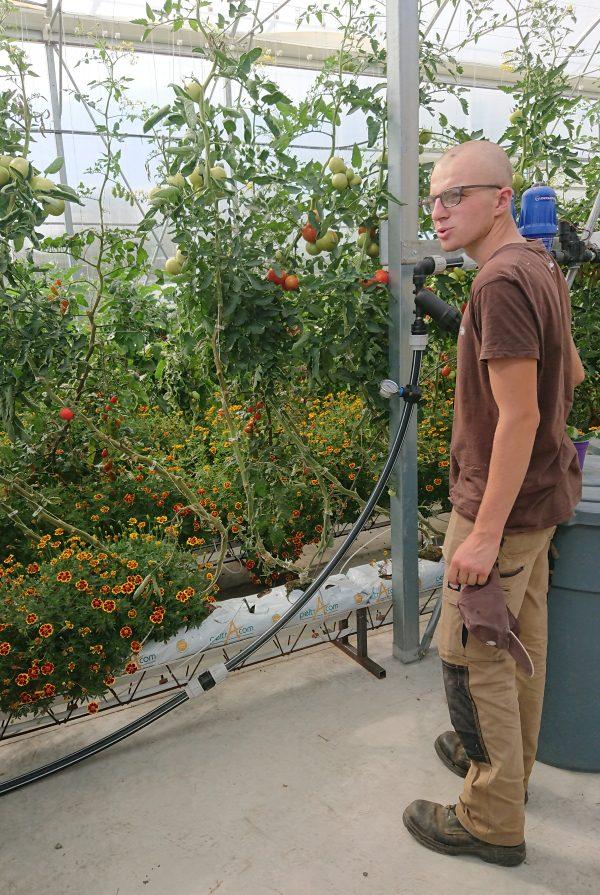 Greenhouse Tomatos