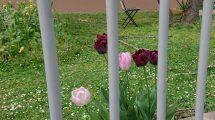 tulips behind bars