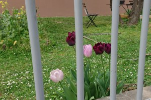 tulips behind bars