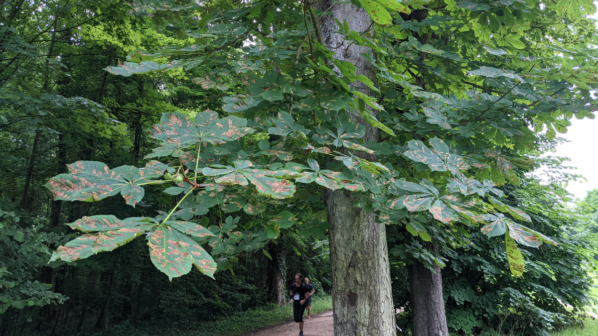diseased horse chestnut tree
