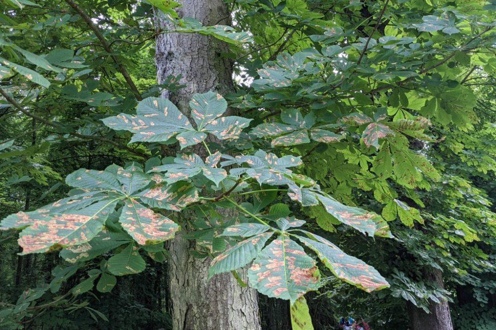 diseased leaves
