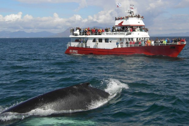 Helicopter-and-whale-watching-tour-in-Iceland