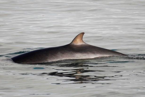 Whale Watching Iceland Minke Whale