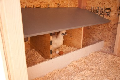 Make sure there are enough nesting boxes to prevent overcrowding