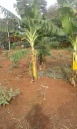 Banana circle