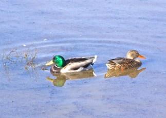 Duckpair3