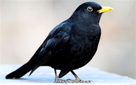 Pet Subjects: Why Do Our Blackbirds Look So Dishevelled?