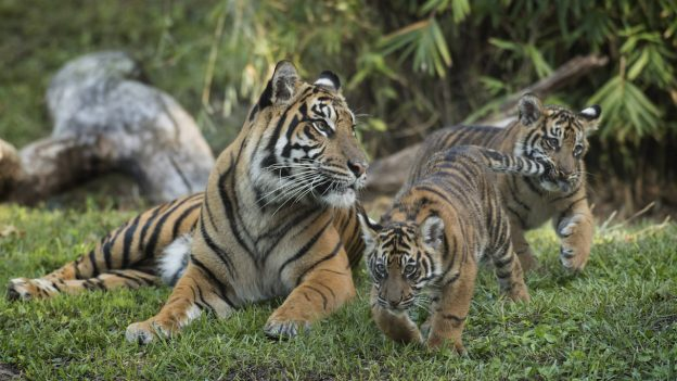 Wildlife Wednesday  Critically Endangered Sumatran Tiger Cubs Arrive     Sumatran Tiger Cubs