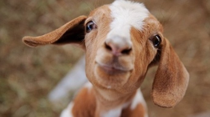 the goat that saved a human, an incredible story