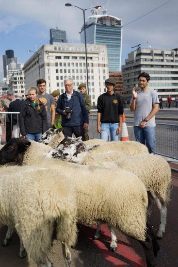 SHEEP IN THE CITY
