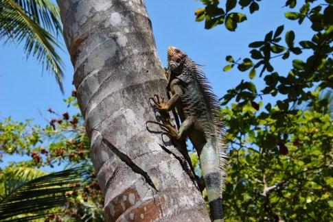 Green Iguana climbing a palm tree in Costa Rica
