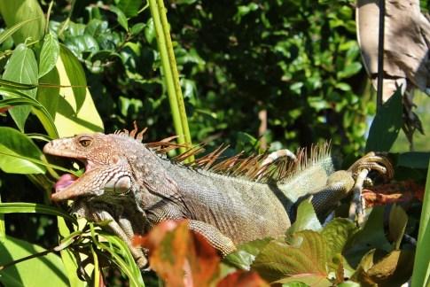 Green Iguana in Costa Rica