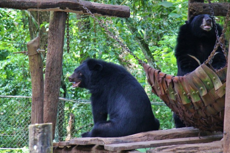 Two Moon Bears at Kuang Si Bear Rescue Center in Luang Prabang, Laos