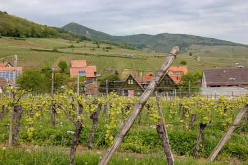 Vineyards in Alsace Region of France