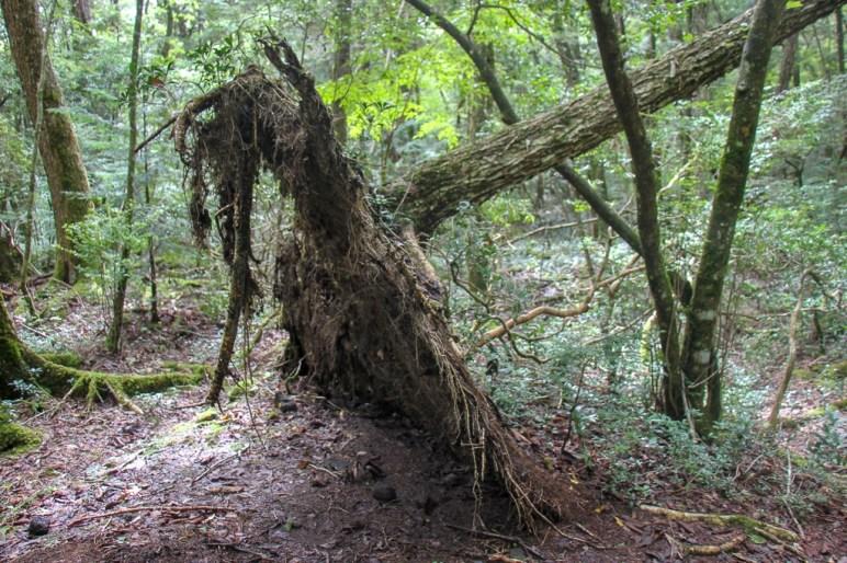 Tree roots at Aokigahara Forest in Kawaguchiko, Japan