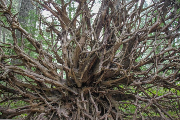 Giant tree roots, Trail Of The Cedars, Glacier National Park, Montana