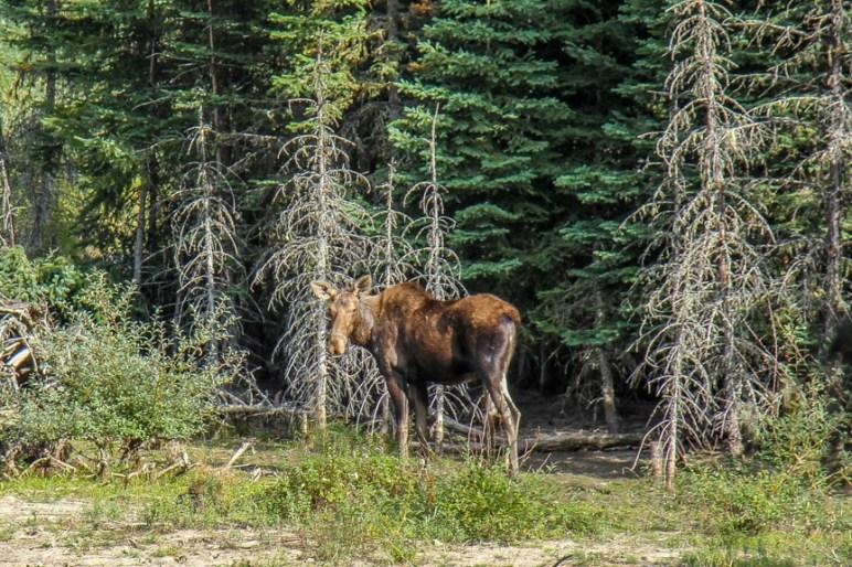 Moose sighting, Glacier NP, Montana