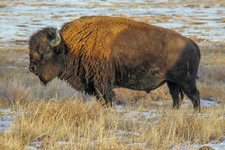 Amazing American Bison at the Rocky Mountain Arsenal, Denver