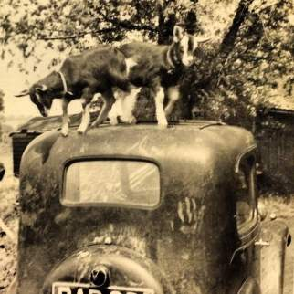 Bramble and Bracken Goats on top of Barry Ward-Smith's Morris Eight Vintage Car Sussex Farming life