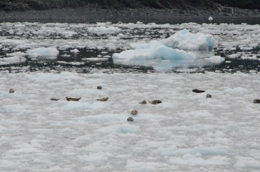 Harbor seals pulled up on the ice.